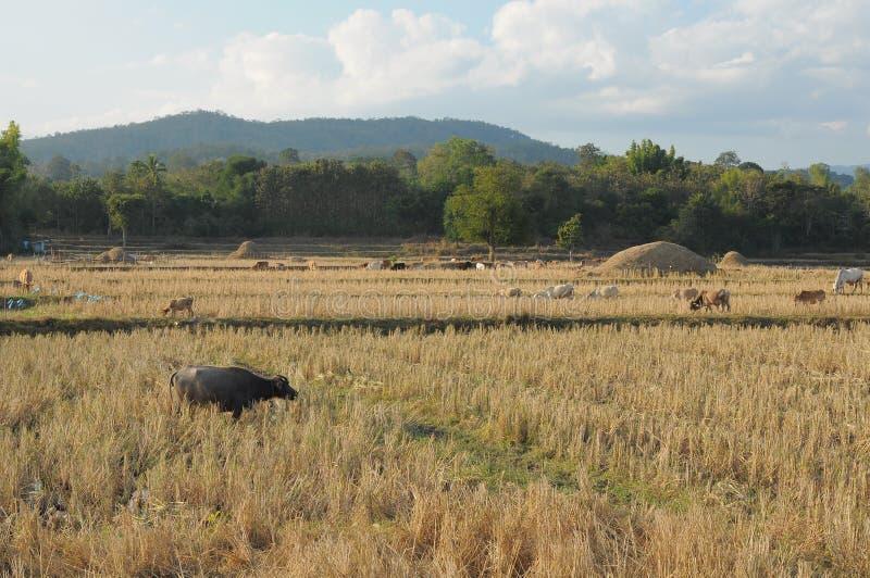 水牛家庭吃在米领域的小组 免版税库存图片