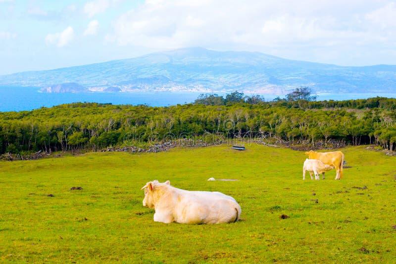 牛家庭,小牛幼儿母亲母牛,黄牛,在狂放的牲口,亚速尔-皮库岛海岛 库存照片