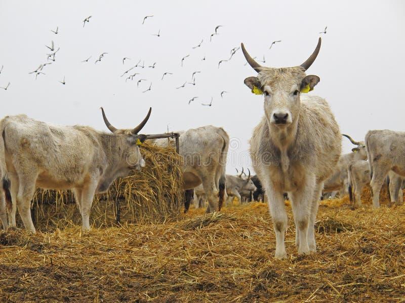 牛灰色匈牙利 库存图片