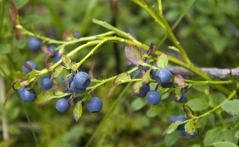 牛痘uliginosum灌木 图库摄影