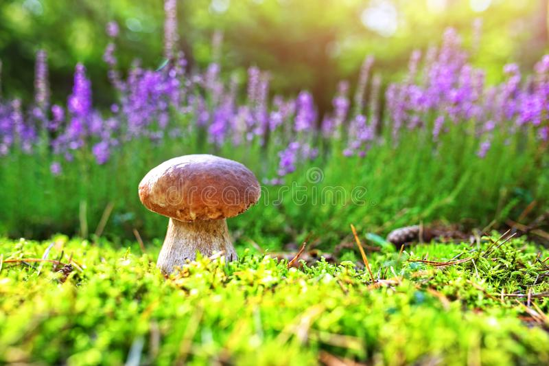 牛肝菌蕈类在草甸增长 库存照片