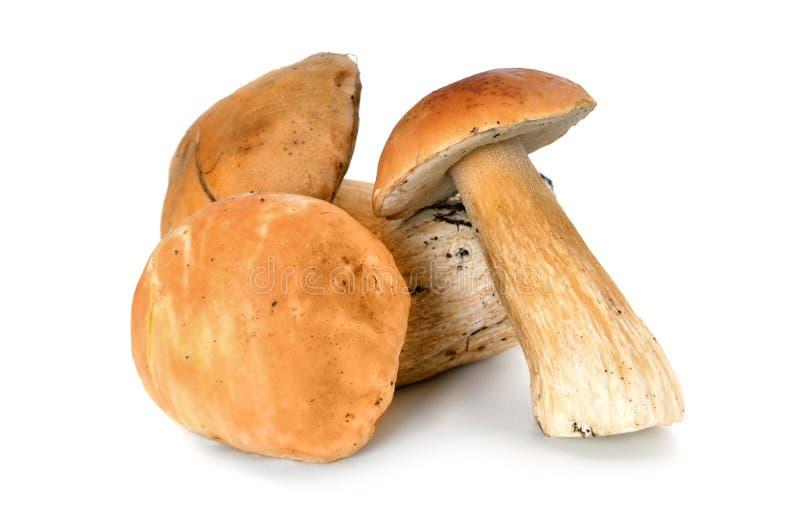 牛肝菌蕈类森林蘑菇 免版税库存图片