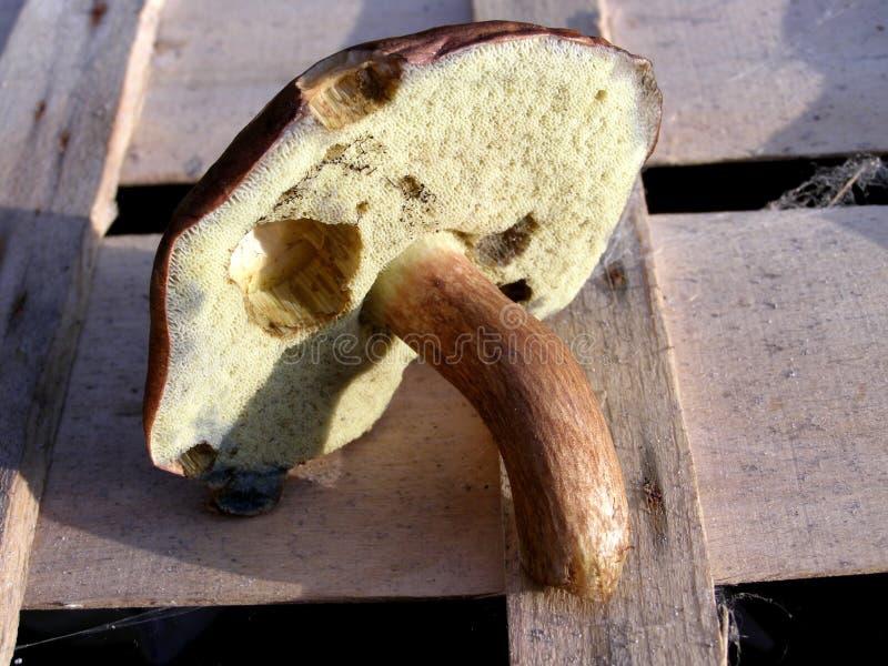 牛肝菌蕈类蘑菇 免版税库存照片