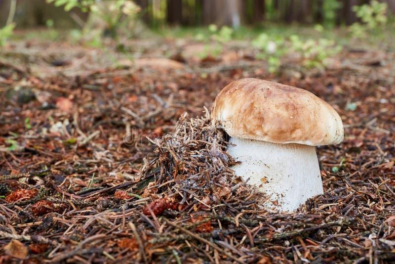牛肝菌蕈类面包可食森林s灰鼠 真菌在自然环境里 免版税库存图片
