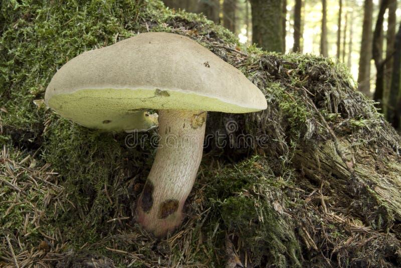 牛肝菌蕈类calopus蘑菇 库存照片