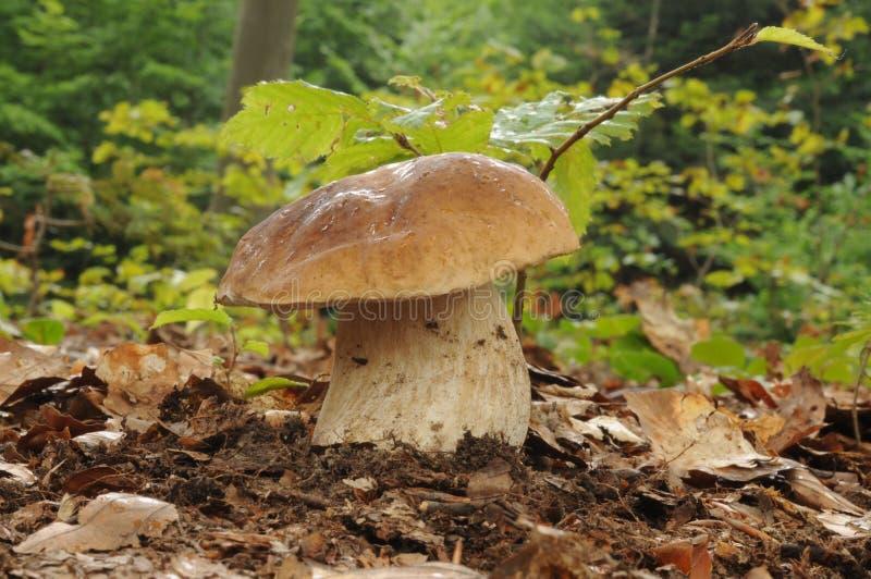 牛肝菌蕈类可食真菌 图库摄影