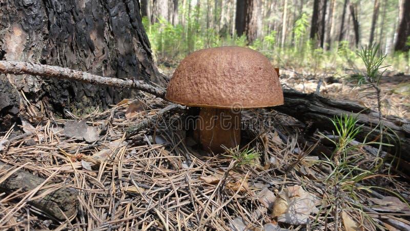 牛肝菌蕈类在森林 免版税图库摄影