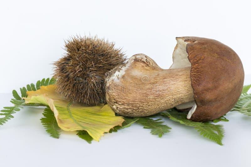 牛肝菌蕈类蘑菇用在白色背景的新芽 库存照片