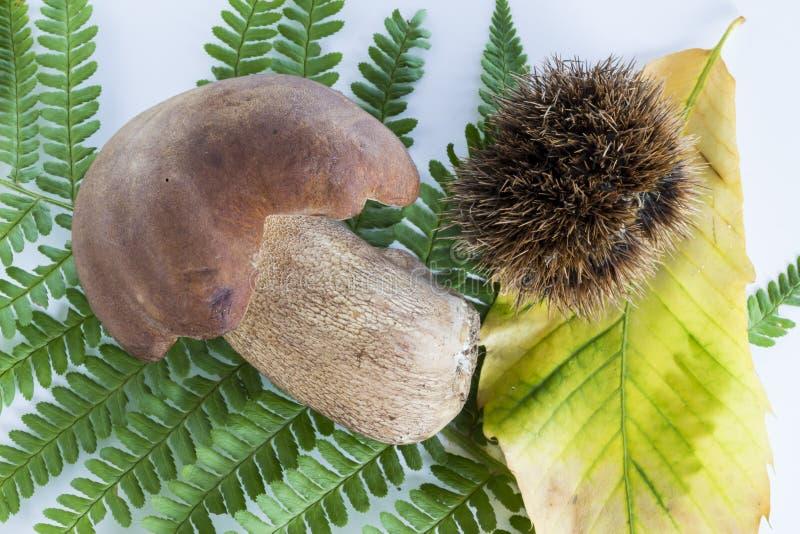 牛肝菌蕈类蘑菇用在白色背景的新芽 库存图片