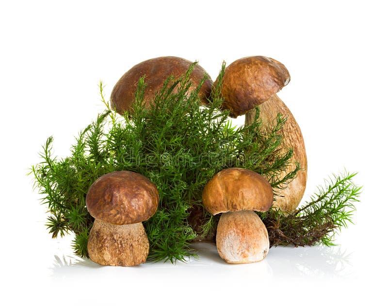 牛肝菌蕈类,在白色隔绝的森林青苔的等概率圆蘑菇 库存照片