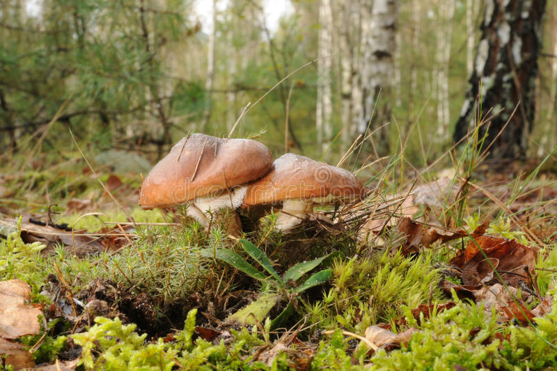 牛肝菌类与林木的luteus真菌在背景中 免版税库存图片