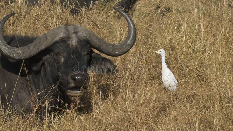 牛背鹭和Cape Buffalo马塞语的玛拉,肯尼亚 库存照片