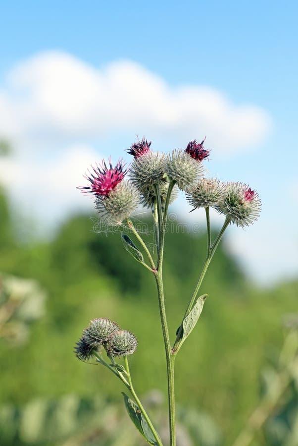 牛蒡属tomentosum 植物名特写镜头开花在天空蔚蓝背景的 免版税库存照片