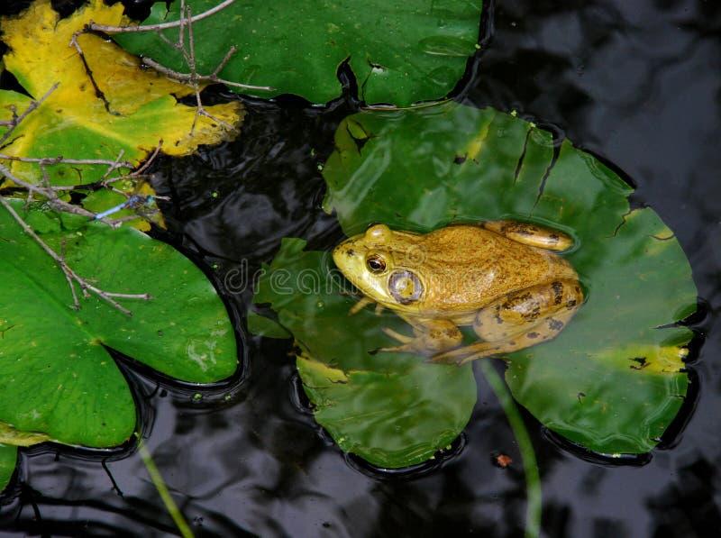 牛蛙睡莲叶 免版税库存照片
