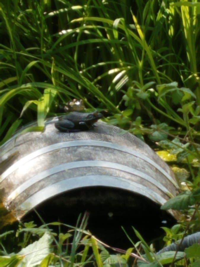牛蛙葡萄酒桶池塘 图库摄影