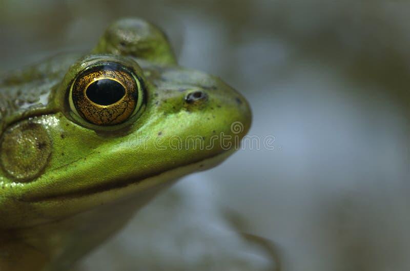 牛蛙配置文件 免版税图库摄影