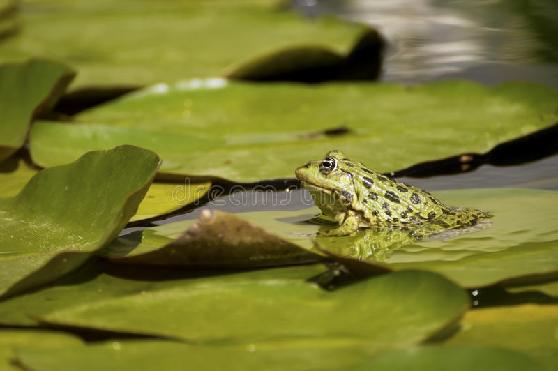 牛蛙绿色池塘 免版税库存图片