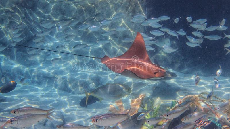 牛鼻鲼游泳的一张水下的照片 免版税图库摄影