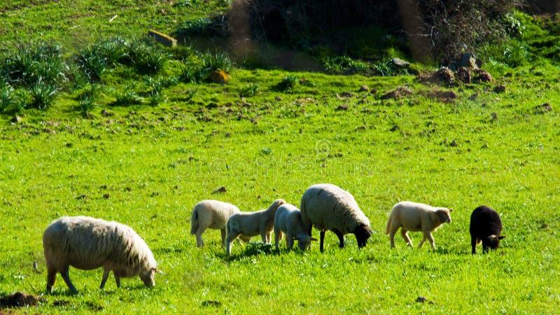 牛,绵羊的图象 库存图片
