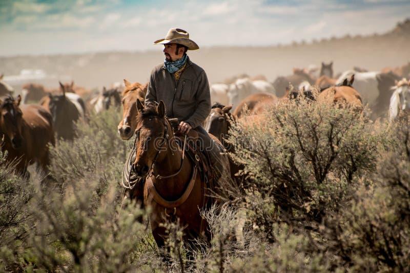 牛仔主导的马牧群通过尘土和鼠尾草在召集期间 库存图片
