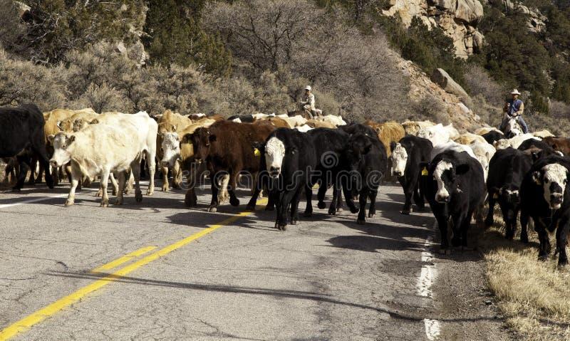 牛驱动 免版税图库摄影