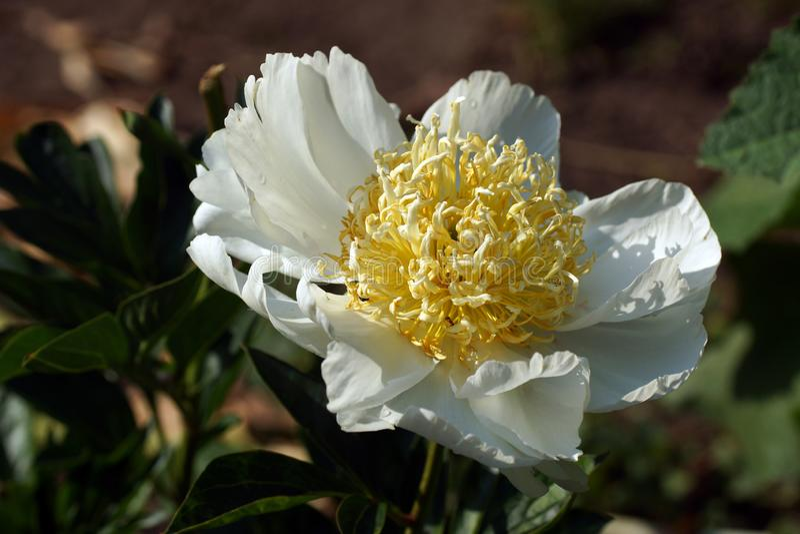 牡丹切达乳酪魅力 日本白色牡丹花 芍药属lactiflora中国牡丹或共同的庭院牡丹 免版税图库摄影