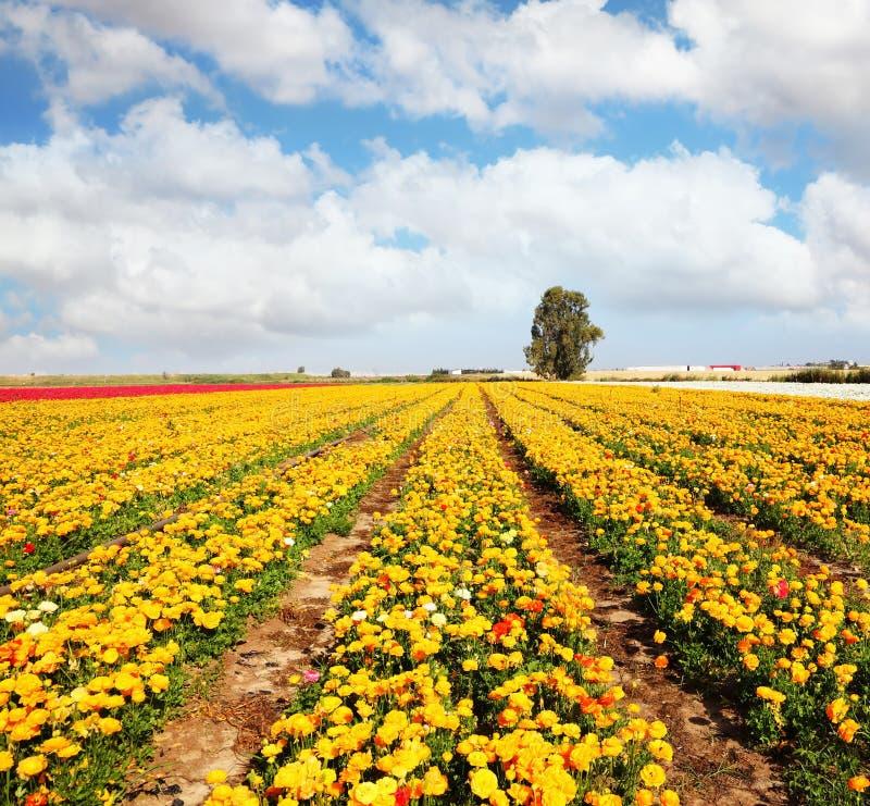 Download 牡丹庭院美丽的毛茛属 库存图片. 图片 包括有 黄色, 牡丹, 背包徒步旅行者, 绿色, 任意, 庭院, 户外 - 30334465