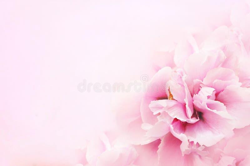 牡丹开花的桃红色淡色花 免版税库存图片