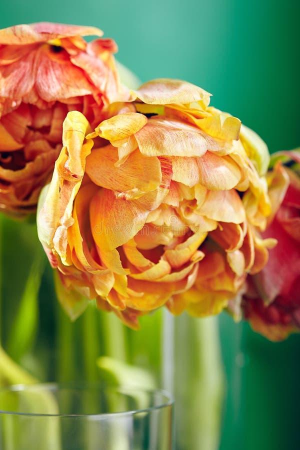 牡丹或Finola在绿色背景的双郁金香 库存例证
