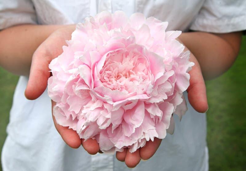 牡丹粉红色 图库摄影
