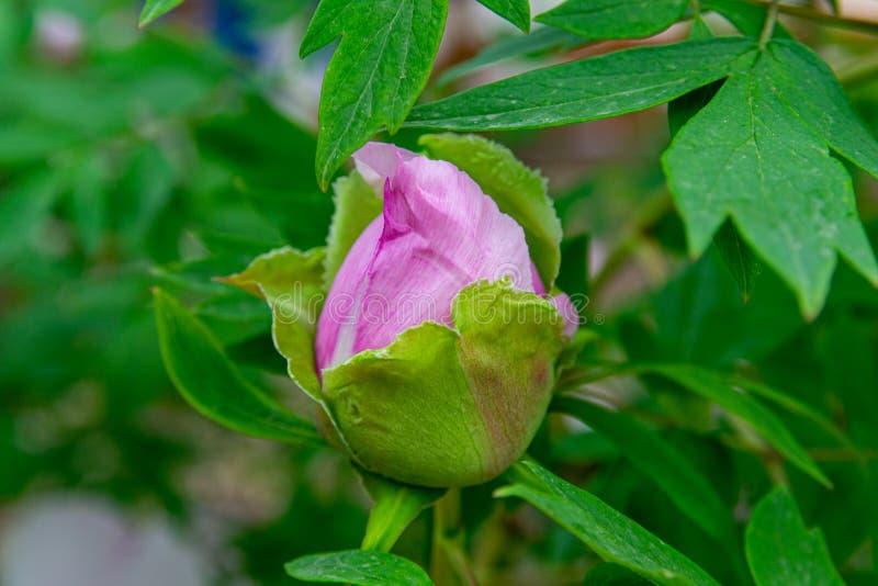 牡丹花桃红色罕见开花在桃红色牡丹背景  库存照片
