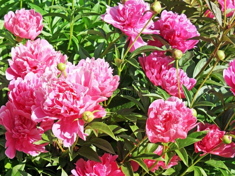 牡丹花的明亮的桃红色开花在盛开的 库存照片
