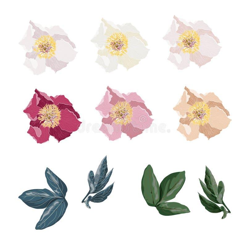牡丹花集合 与在白色背景和叶子的葡萄酒花卉元素隔绝的牡丹花 库存例证