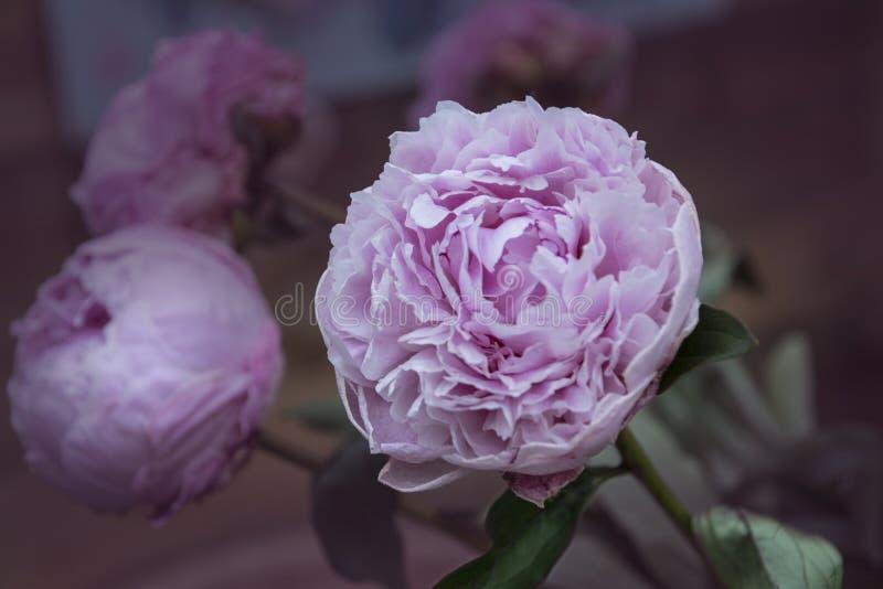 牡丹花-许多层状瓣 束淡粉红的牡丹 WA 库存照片
