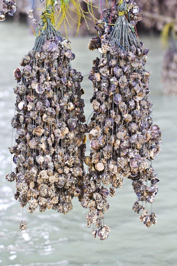 牡蛎种田 库存照片