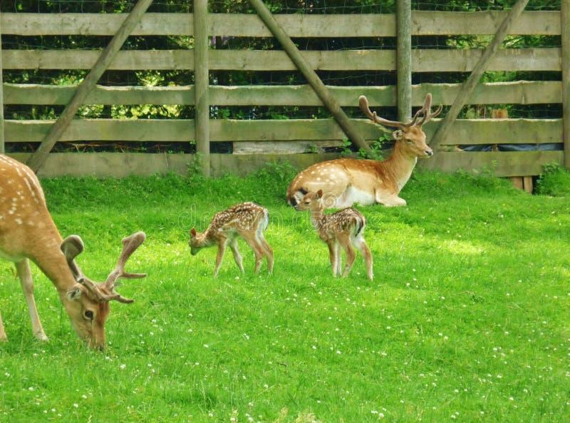 牡鹿家庭 库存照片
