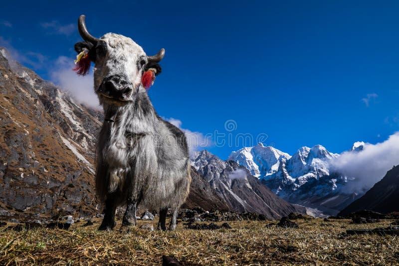 牦牛在喜马拉雅山,尼泊尔 库存图片