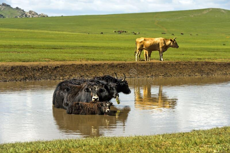 牦牛家庭在一个池塘变冷在一个热的夏日 免版税库存图片