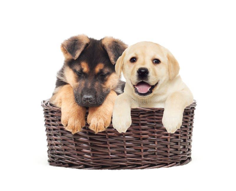 牧羊人小狗和小狗拉布拉多 免版税图库摄影