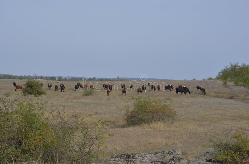 牧羊人带领母牛牧群横跨一个晴朗的乌克兰领域的 免版税库存照片