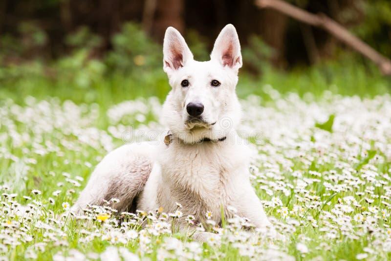 牧羊人瑞士白色 图库摄影