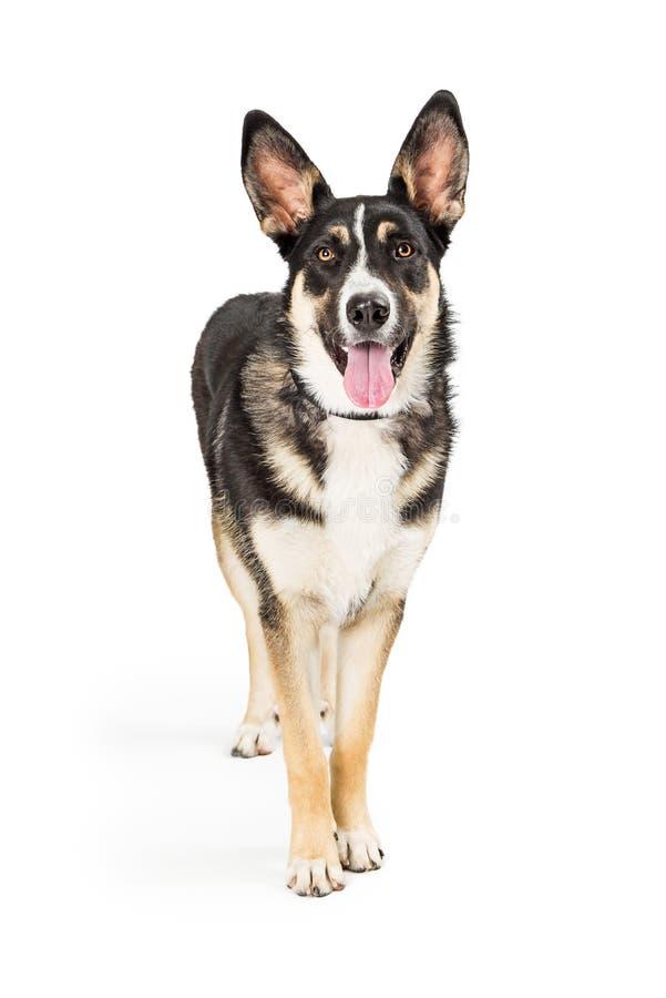 牧羊人站立愉快的表示的杂种狗 免版税库存照片