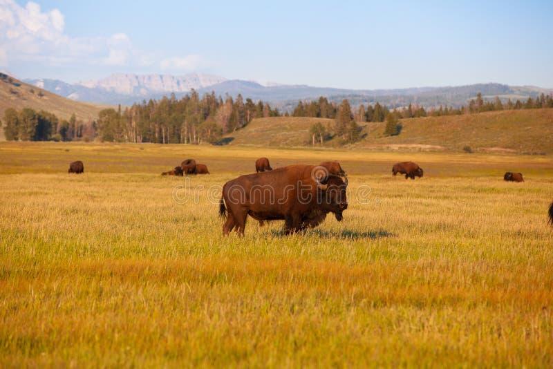 牧群北美野牛在黄石国家公园,怀俄明 美国 免版税库存照片