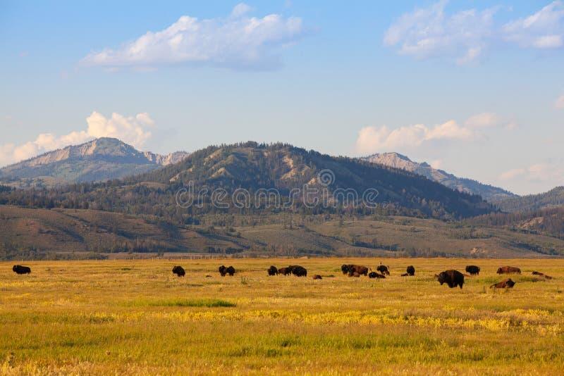 牧群北美野牛在黄石国家公园,怀俄明 美国 免版税库存图片