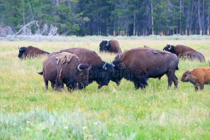 牧群北美野牛在黄石国家公园,怀俄明 美国 库存照片