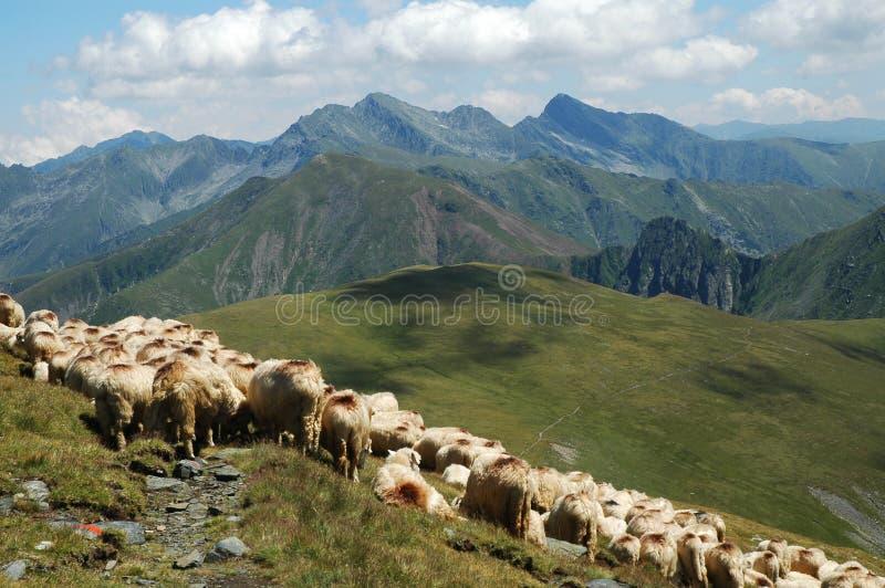 牧群山绵羊 库存照片