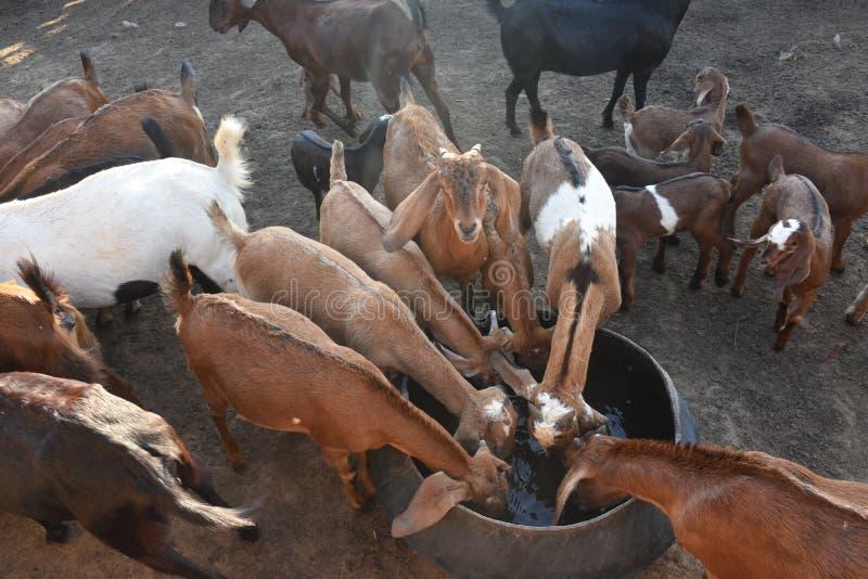 牧群山羊喝 免版税库存照片