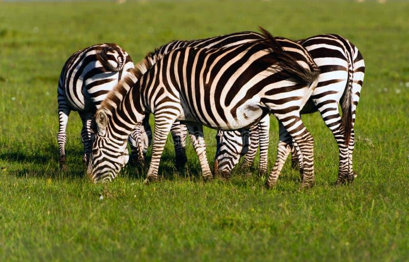 牧群无格式斑马(马属拟斑马)在肯尼亚的马塞语Mara Reserv 免版税图库摄影