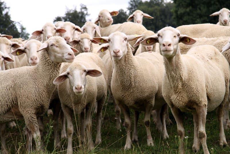 牧群绵羊 库存照片
