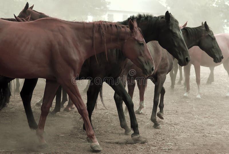 牧群马走 免版税库存图片